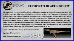 1.2 Albertosaurus Fossil Tooth Serrated Tyrannosauridae Cretaceous Dinosaur COA